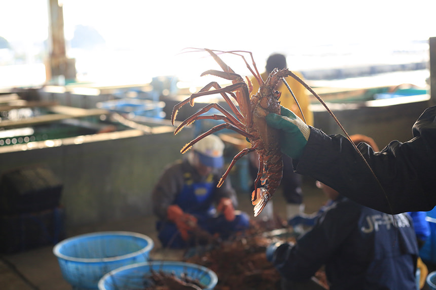 Ise-ebi spiny lobster's photo